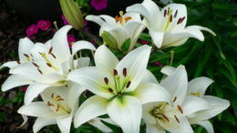 Каким удобрением подкормить лилии осенью, весной и летом после цветения