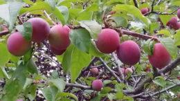 Какими удобрениями нужно подкормить сливы осенью и весной