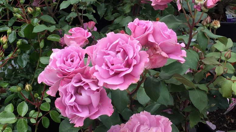 Какими удобрениями подкармливать розы для пышного цветения и на зиму
