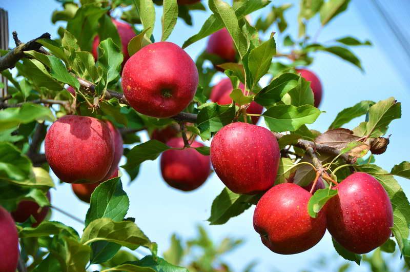Какими удобрениями подкармливать яблони для богатого урожая