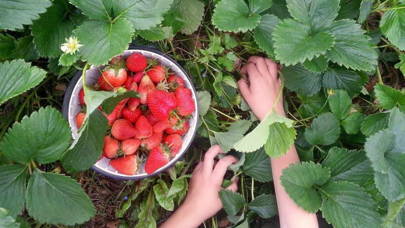 Какими удобрениями подкормить клубнику во время плодоношения рецепты