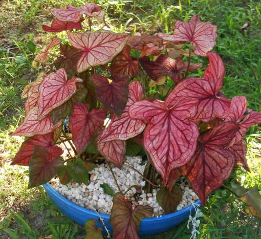 Каладиум Caladium 'Desert Sunset' фото