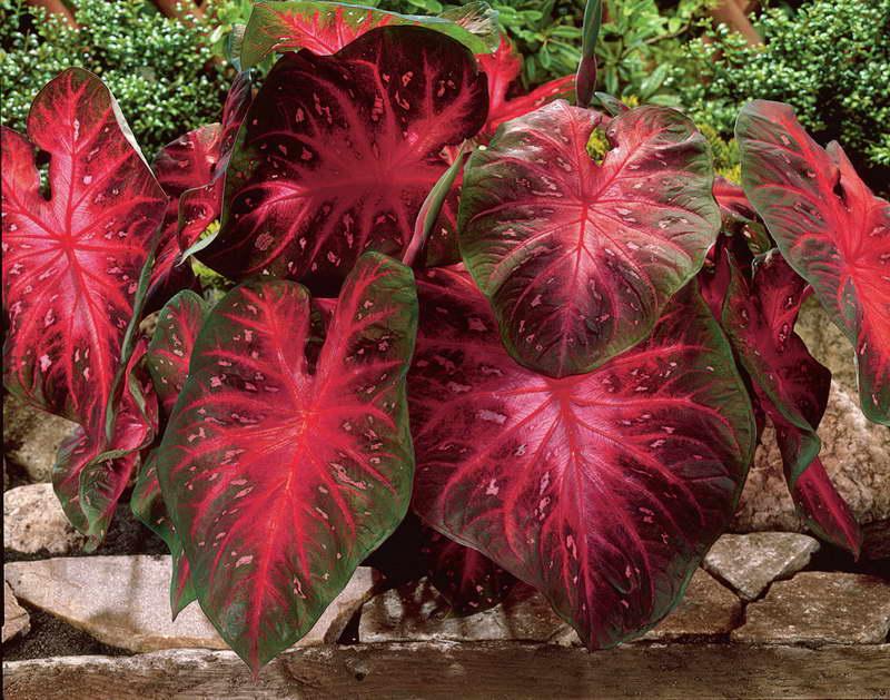 Каладиум двухцветный Caladium bicolor сорт 'Red Flash' фото