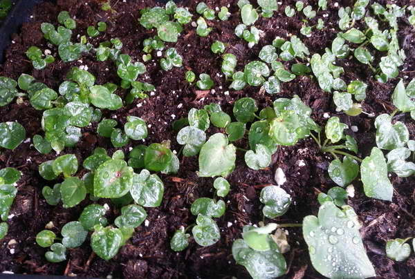 Каладиум из семян в домашних условиях фото всходов