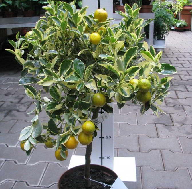 Каламондин вариегата citrofortunella microcarpa variegata фото