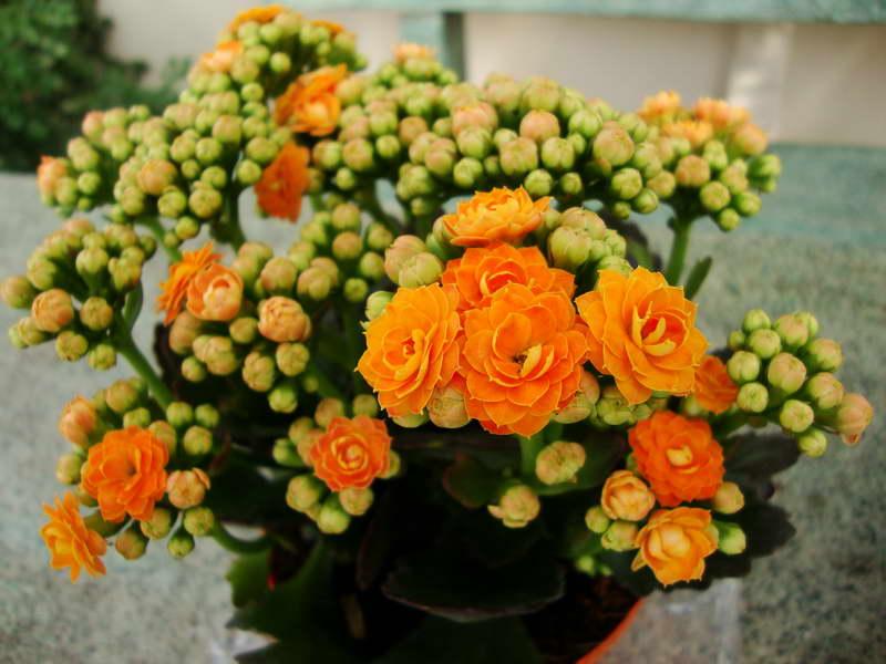 Каланхоэ Броссфельда Kalanchoe blossfeldiana фото