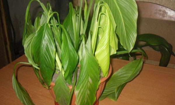 Калатея опустила листья фото