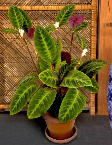 Калатея варшевича фото домашнего цветка