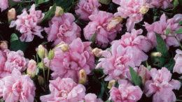 Калистегия calystegia flore plena посадка и уход в открытом грунте фото цветов