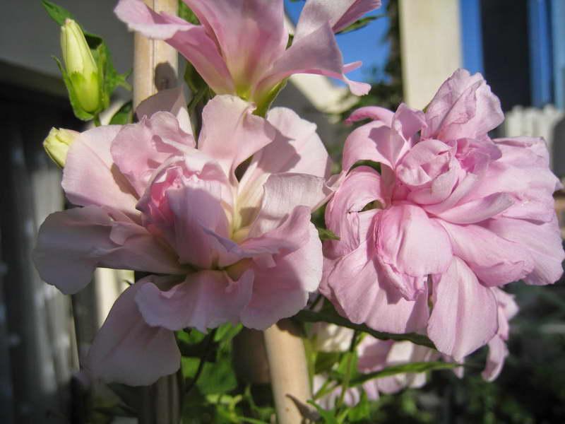 Калистегия или сибирская роза когда цветет фото цветения