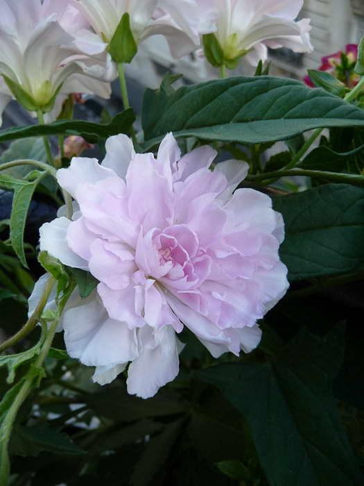 Калистегия японская или плющелистная Флоре Плено Calystegia hederacea 'Flore Pleno' фото