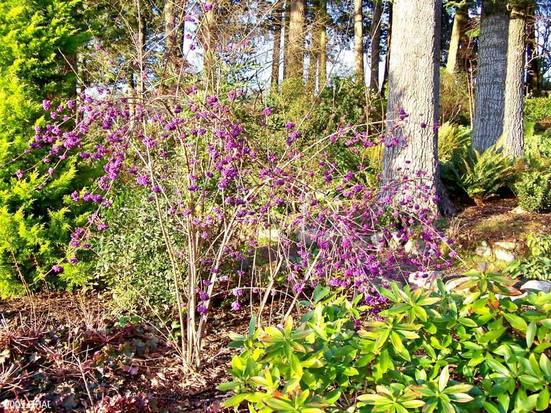 Калликарпа в саду фото