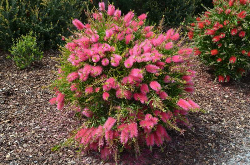 Каллистемон Формоза Callistemon formosus Perth Pink фото