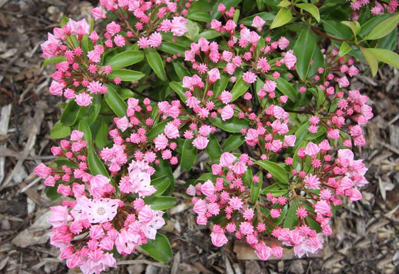 Кальмия Kalmia latifolia 'Ewa' фото