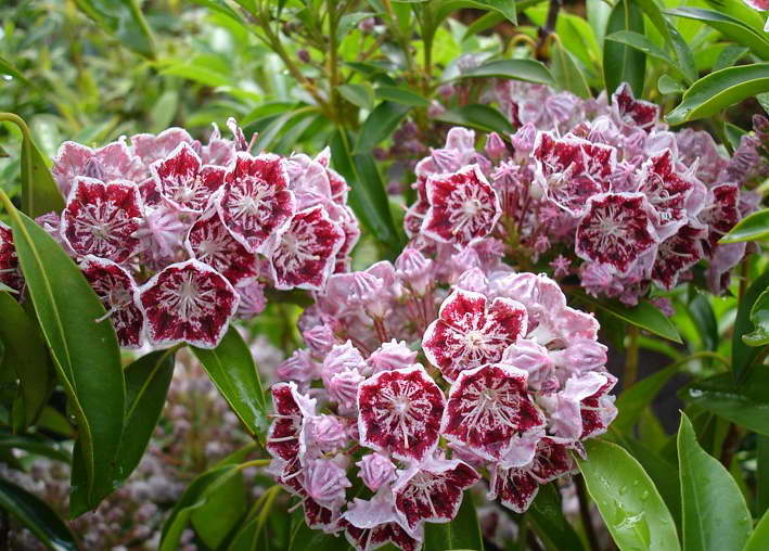 Кальмия широколистная сорт Kalmia Lat. Carousel Mountain Laurel фото