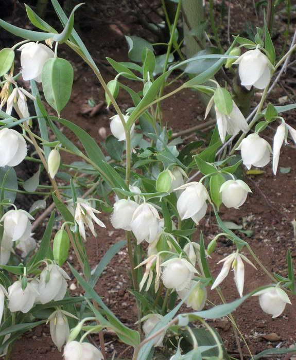 Калохортус белый Calochortus albus фото