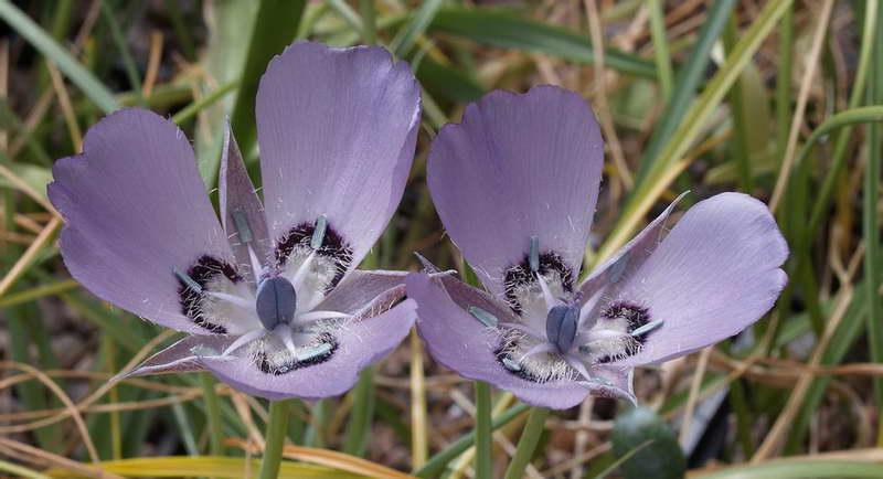 Калохортус одноцветковый Calochortus uniflorus фото