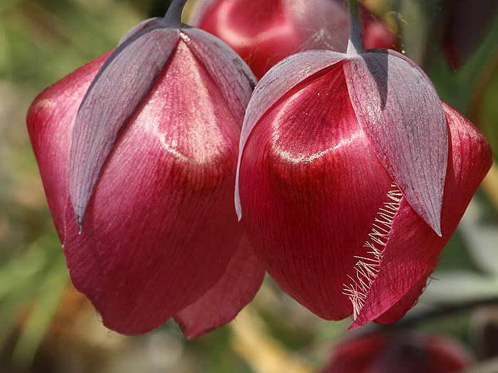Калохортус белый вариаация рубиновый Calochortus albus var. rubellus фото