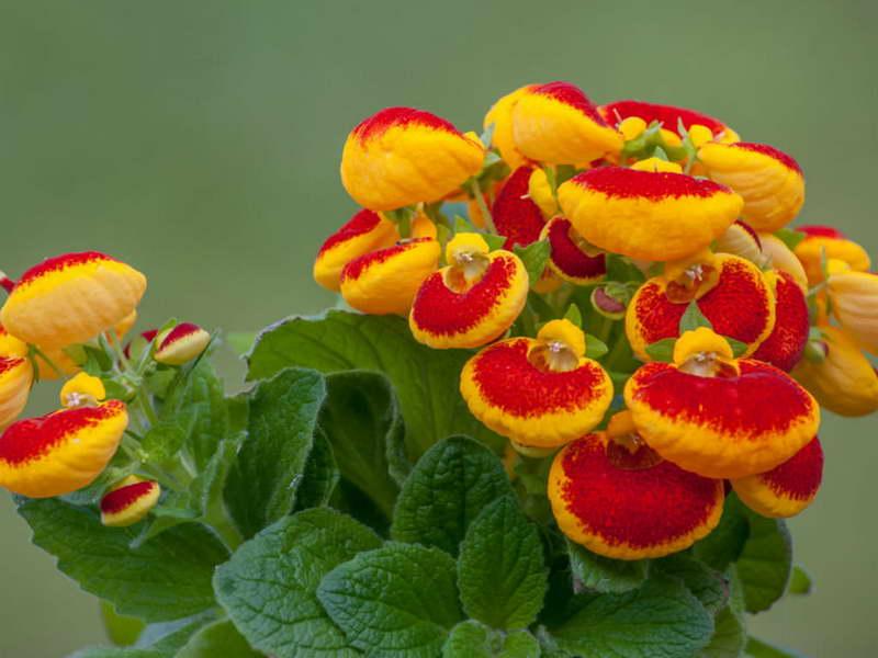 Кальцеолярия гербеогибрида или многоцветковая