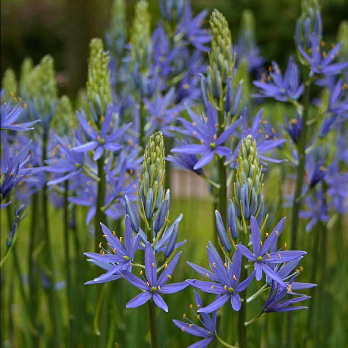Камассия Лейхтлина Camassia leichtlinii Blue Danube фото