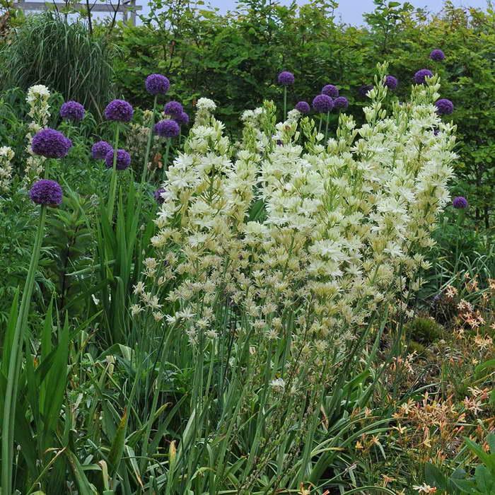 Камассия Лейхтлина Camassia leichtlinii 'Semiplena' фото с декоративным луком на клумбе