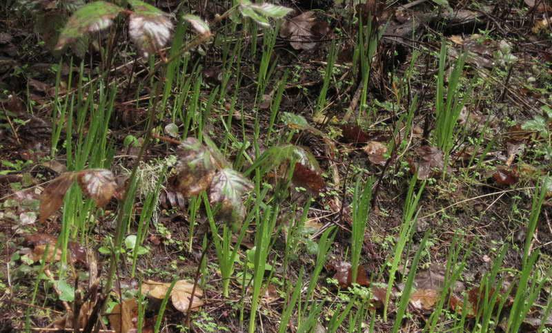 Камассия из семян фото всходов в открытом грунте
