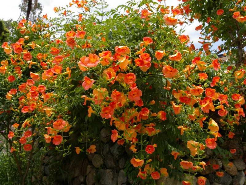 Кампсис крупноцветковый Campsis grandiflora, он же кампсис китайский, или бигнония китайская Bignonia grandiflora фото