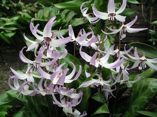 Кандык Хендерсона Erythronium hendersonii фото