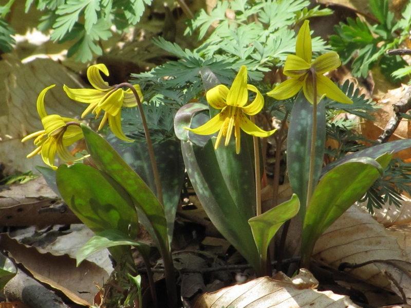 Кандык американский Erythronium americanum фото