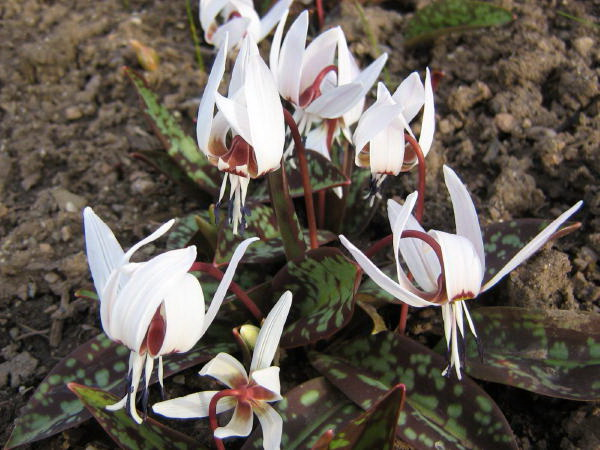 Кандык европейский Снежинка Erythronium dens-canis Snowflake