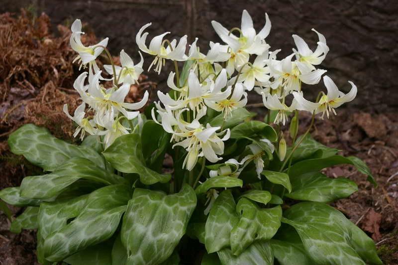 Кандык калифорнийский Erythronium californicum фото