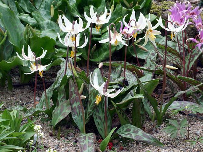 Кандык орегонский Erythronium oregonum