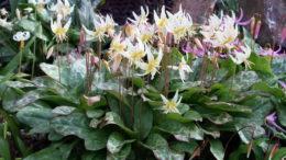 Кандык посадка и уход в открытом грунте фото цветов