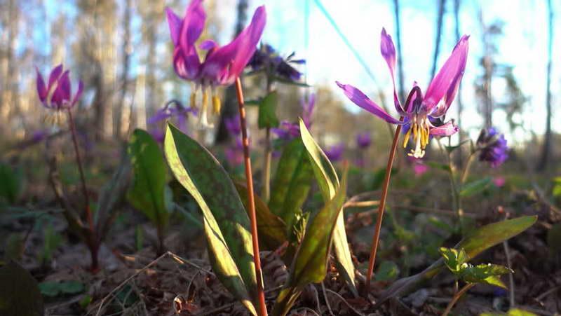 Кандык сибирский Erythronium sibiricum фото