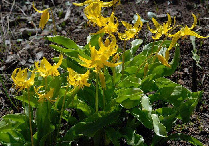 Кандык туолумнийский Erythronium tuolumnense фото
