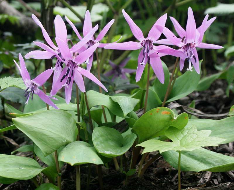 Кандык японский Erythronium japonicum фото