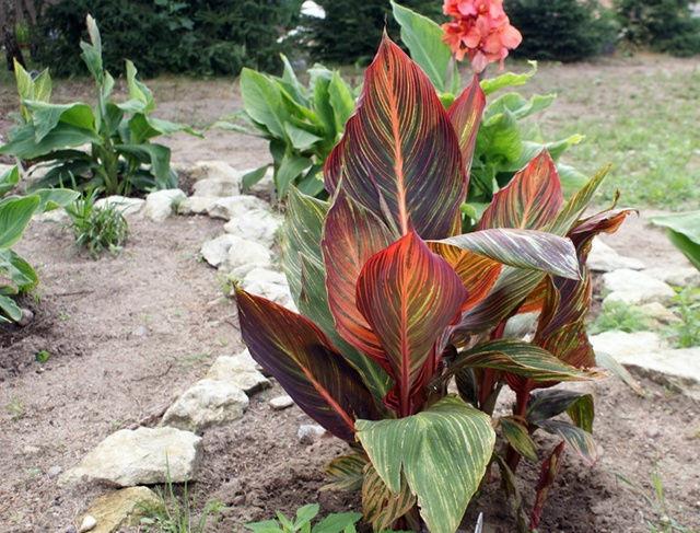 Канна дурбан фото Выращивание в саду