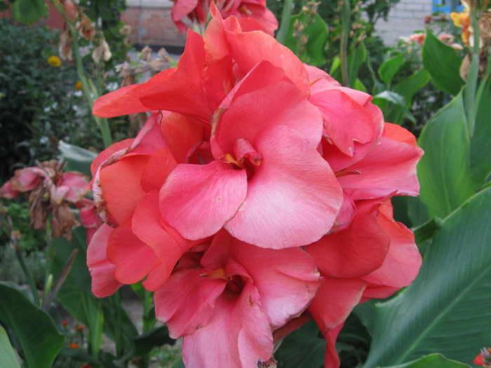 Канна садовая сорт Ливадия фото