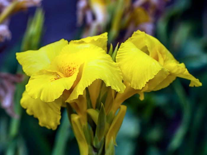 Канна желтая Суевия kanna Suevia фото