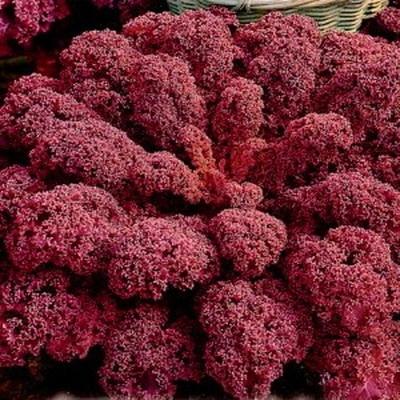 Капуста кале выращивание из семян и уход Капуста листовая кале красная f1 Сорта листовой капусты фото