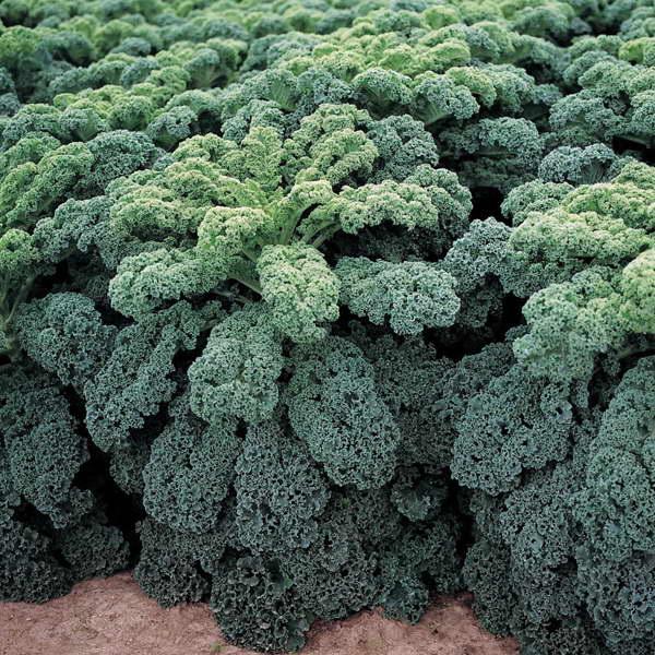 Капуста листовая кале рефлекс F1 Kale Reflex F1 фото
