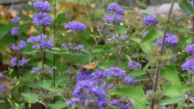 Кариоптерис посадка и уход в открытом грунте Фото в саду