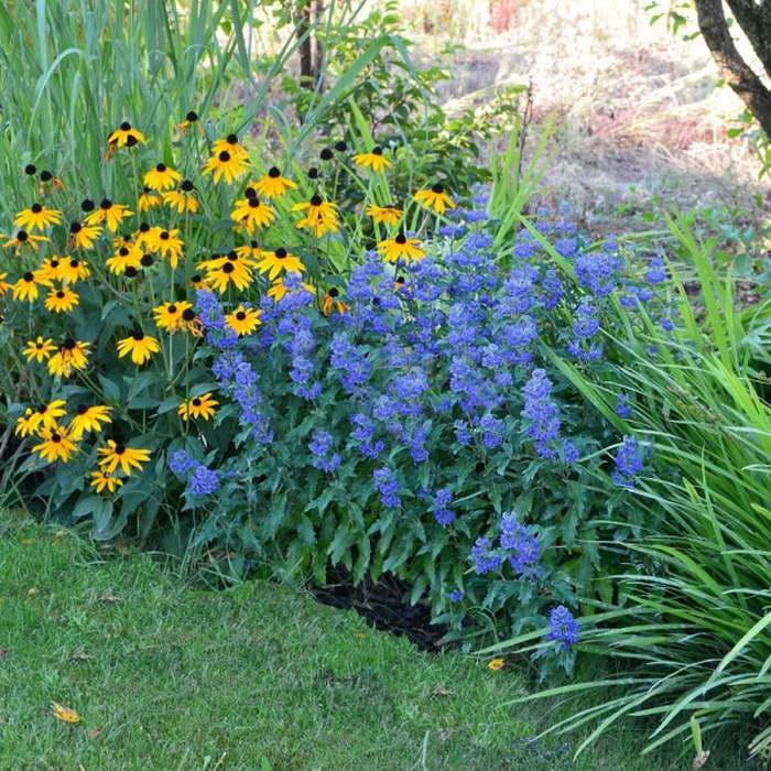 Кариоптерис с другими цветами в саду фото