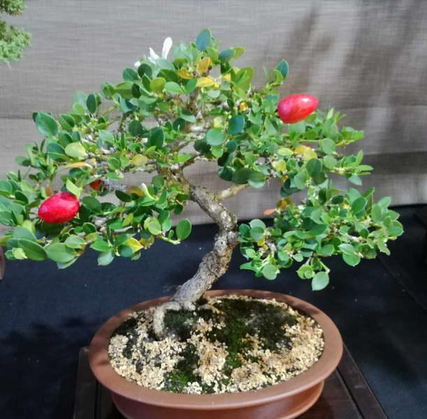 Карисса цветок фото бонсая