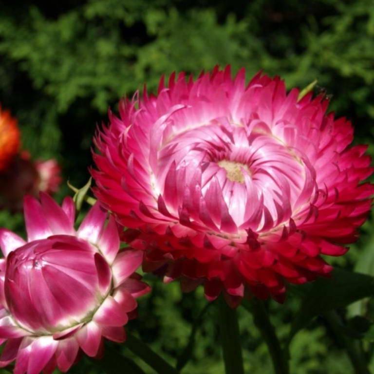 Картинки цветов бессмертник фотоподборка