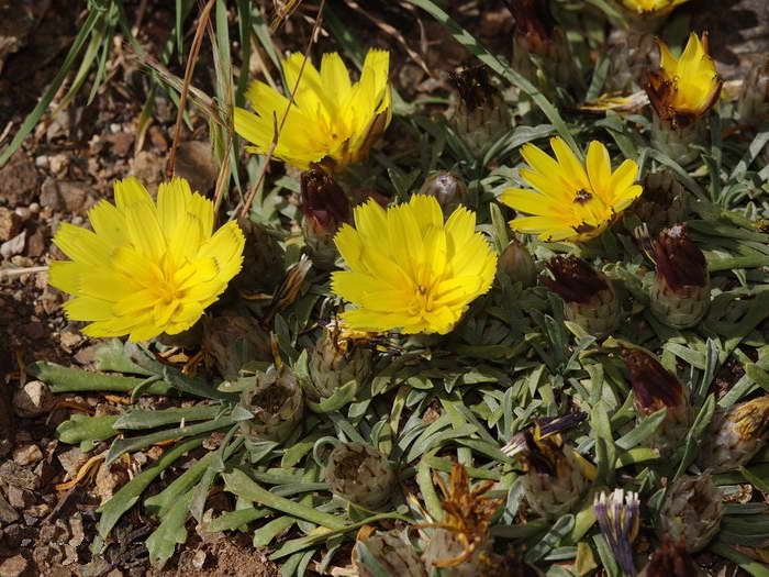 Катананхе дернистая Catananche caespitosa фото
