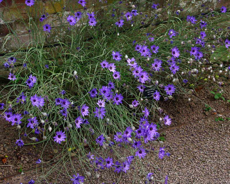 Катананхе голубая Catananche caerulea фото