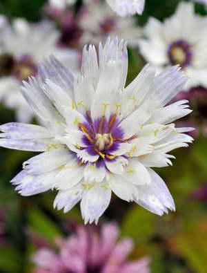Катананхе голубая с белыми цветами Catananche caerulea Alba фото