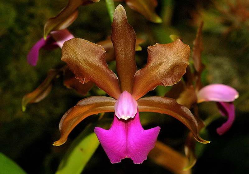 Каттлея двухцветная Cattleya bicolor фото