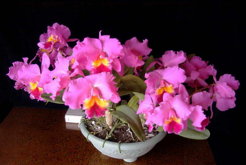 Каттлея уход в домашних условиях фото цветов